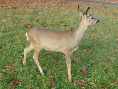 Teenie Bambi