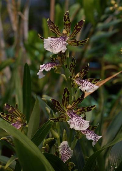 Orchidee im Botanischen Garten Göteborg