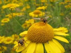 Insekten auf Gelb 9