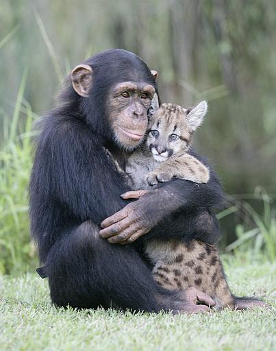 Affe mit Pumajungem