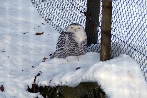 weibliche Schnee-Eule