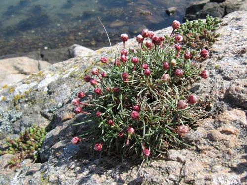 Felsenblümchen