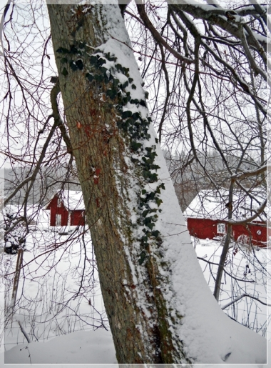 Efeu und Schnee
