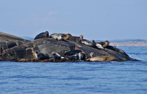 Seehunde im Kattegat nahe Varberg
