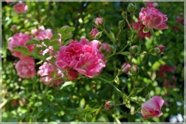 Rosen im Botanischen Garten Göteborg